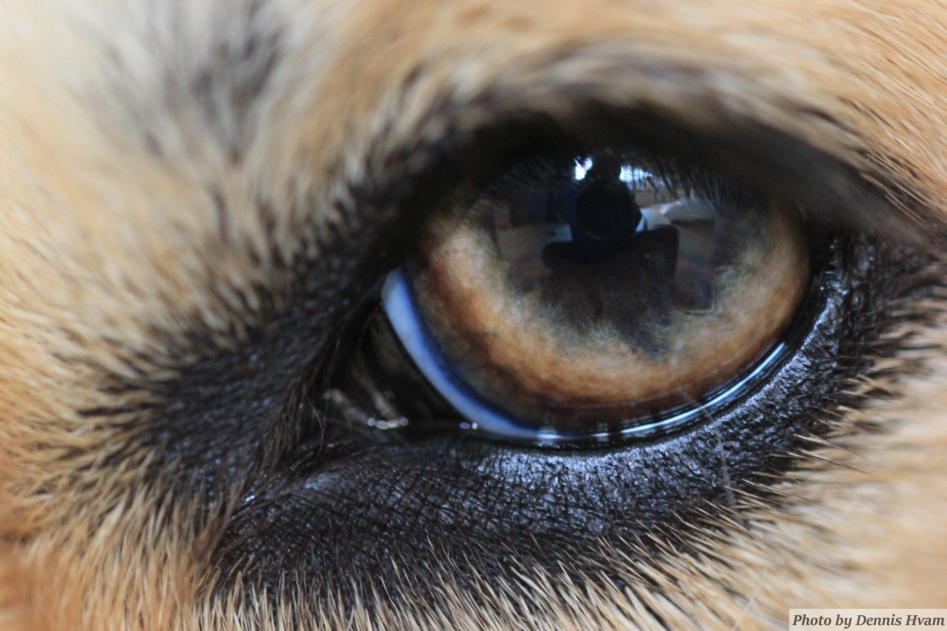 The eye of my dog