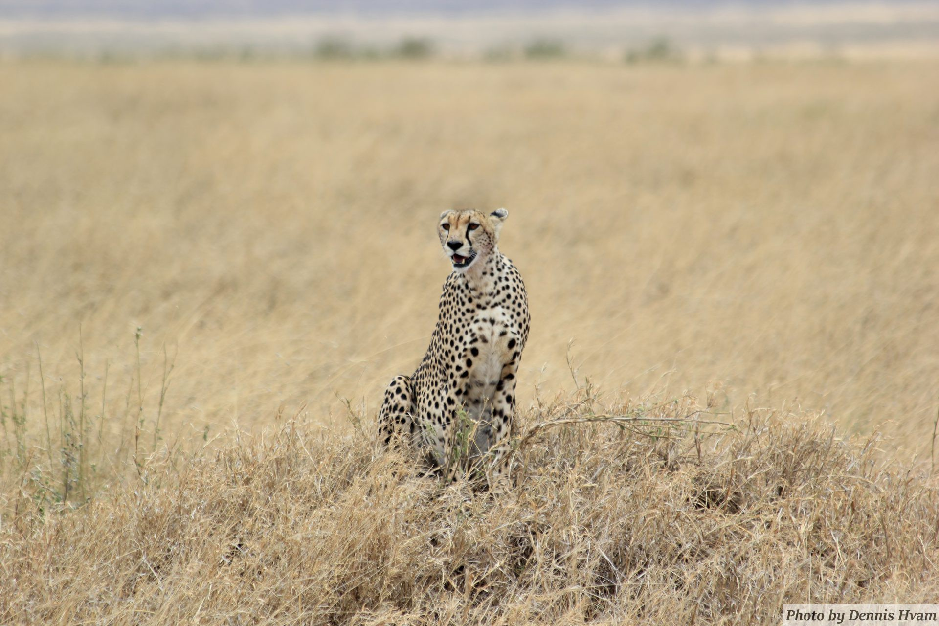 The African Cheetah – Click on the image for more