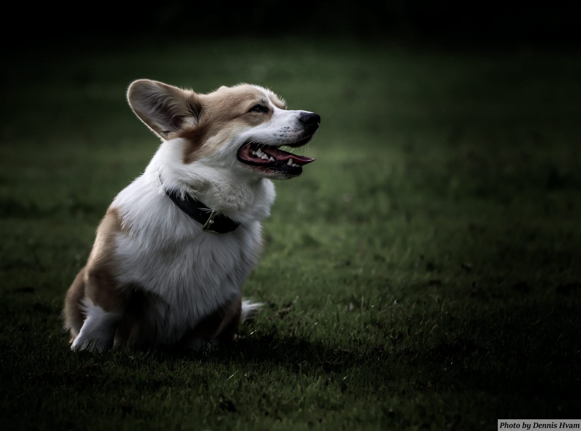 Jax the Corgi, click on the picture for setup